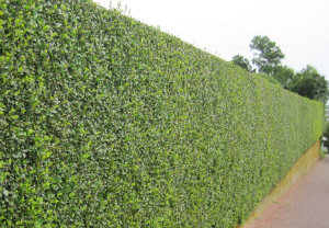hedge-cutting-maintenance-acton