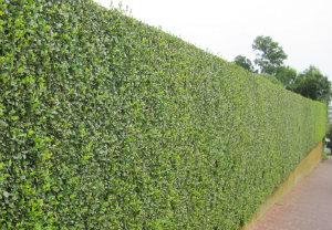 hedge-cutting-maintenance-acton